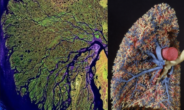 The Uhrplant shows itself also in the Lungs and Riversystems
